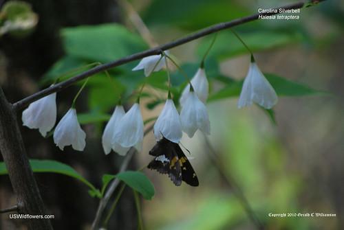 Mountain Silverbell, Carolina Silverbell, 4-wing Silverbell - Halesia tetraptera