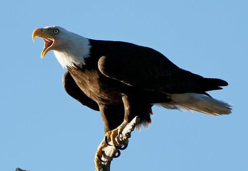arizona eagle woodlandlake