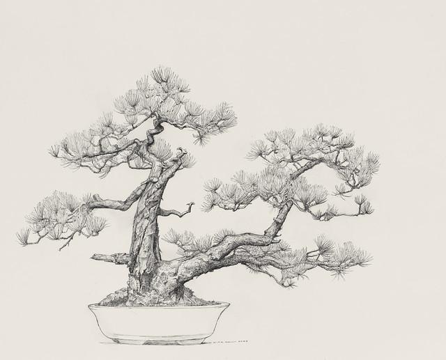 "Dick Rauh, Pinus rigida, 2009. C.V. Starr Bonsai Museum. Pen and ink on Arches 300lb. hot press. 16"" x 20""."