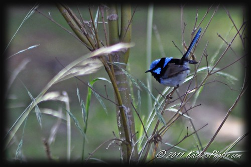 179-365 Superb Fairy Wren (male)