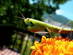 Mante religieuse - Praying mantis