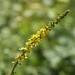 Small photo of Agrimony (Agrimonia eupatoria)