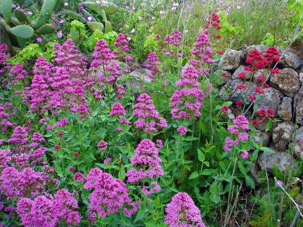 Centranthus ruber in a variety of colours