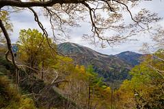 ダケカンバの紅葉と雪倉岳・朝日岳