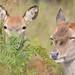 Red deer hinds by Kevin Keatley1