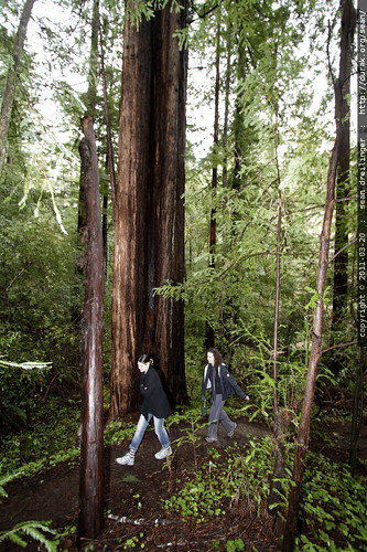 walking in the heritage redwood grove