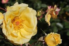 garden roses, floribunda, flower, yellow, rosa foetida, plant, rosa rubiginosa, macro photography, flora, petal,