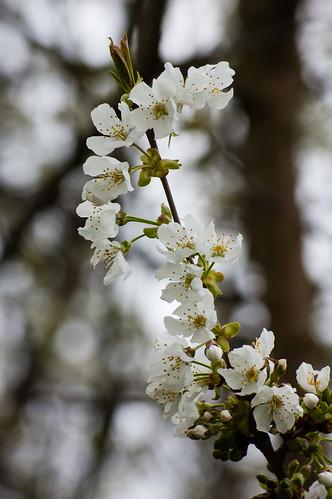 Wild cherry flowering