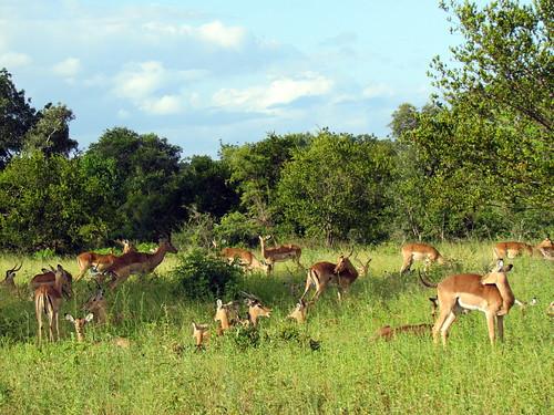 South Africa Safari - Djuma Game Reserve - Sabi Sand - Kruger National Park