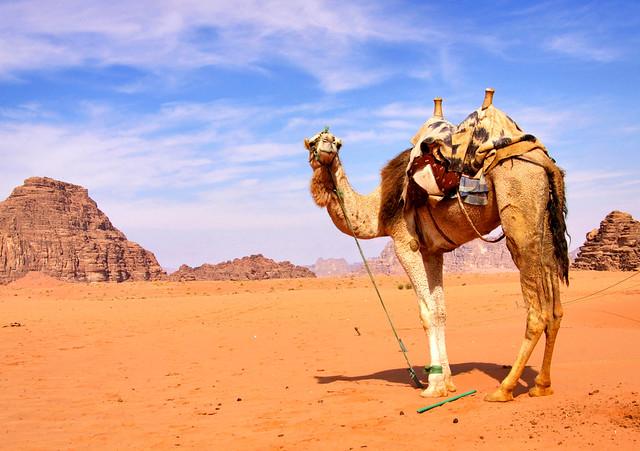 Camello en el desierto de Wadi Rum. Jordania.