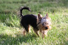 dog breed, animal, dog, grass, pet, australian silky terrier, vulnerable native breeds, australian terrier, carnivoran, yorkshire terrier, terrier,