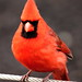Northern Cardinal on National Zoo Grounds