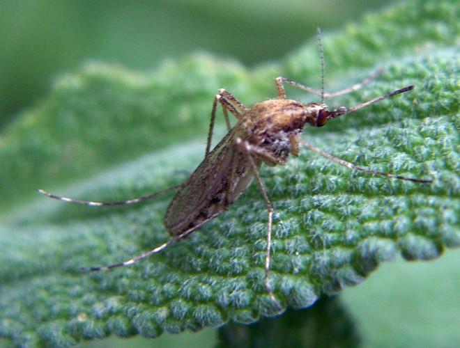 Aedes caspius 5621520435_9c051b13f5_o