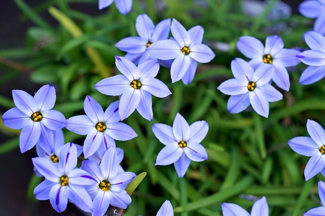 Ipheion uniflorum forma violaceum 'Wisley Blue' (True Strain)