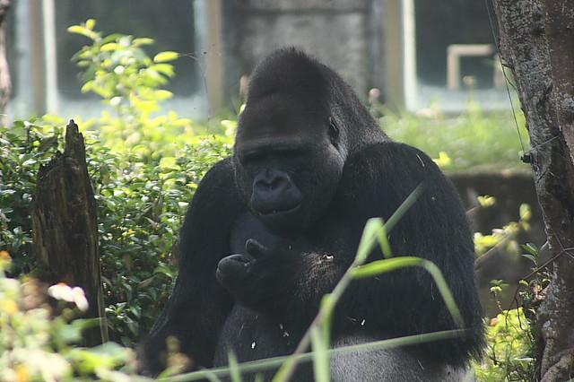 木栅动物园(金刚猩猩)022