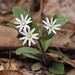 star chickweed - Photo (c) BlueRidgeKitties, some rights reserved (CC BY-NC-SA)