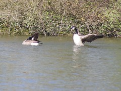 Canada Geese in England