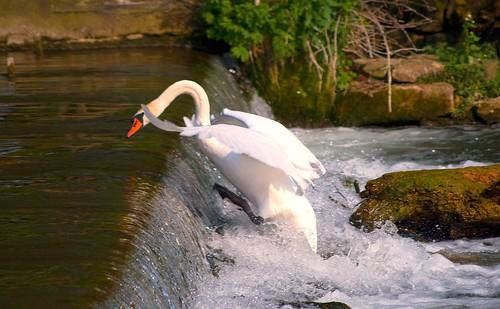 Swan climbing Bakewell Weir