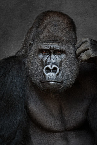 Face to face with the Gorilla King - short story for kids ...