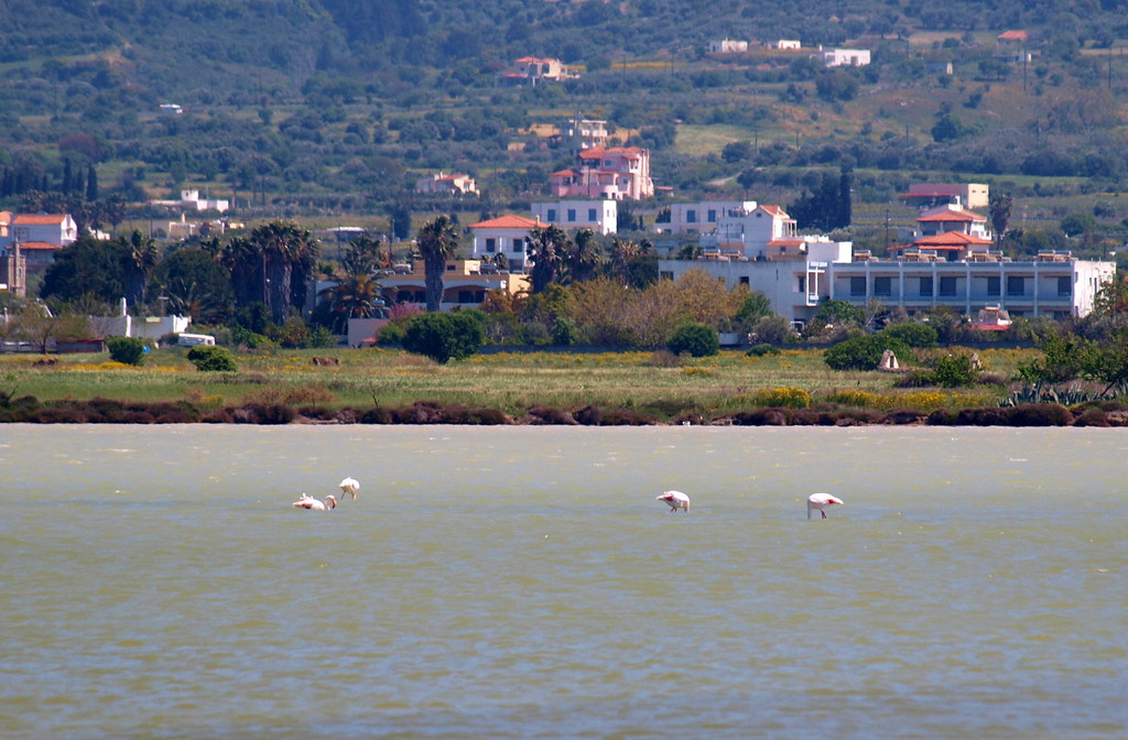 Some flamingoes in the salty lake near Tingaki, Kos