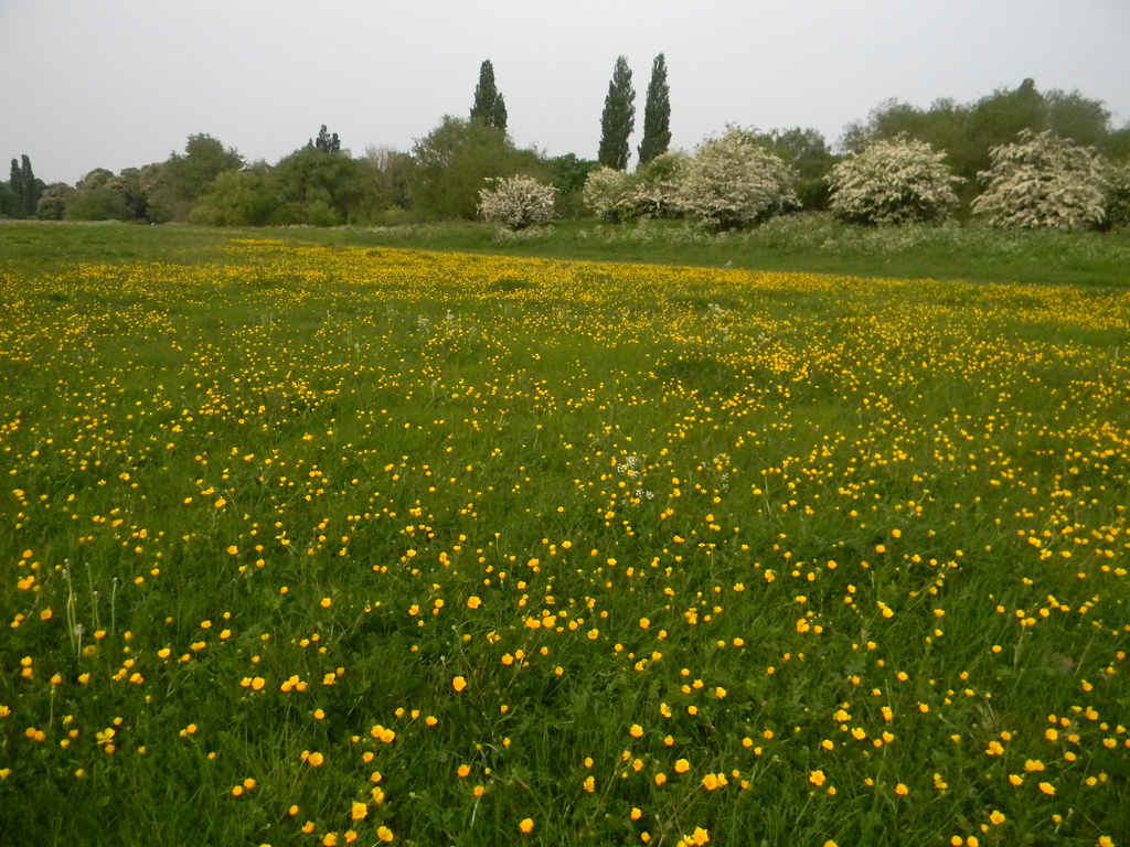 Buttercups in meadow Biggest water meadow in the known universe. Huntingdon Circular