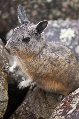 animal, hare, rabbit, domestic rabbit, nature, mammal, fauna, close-up, whiskers, wildlife,