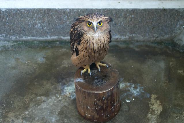 マレーウオミミズク (Malays Fish Owl)