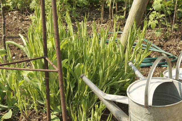 Watering perennial sweet peas
