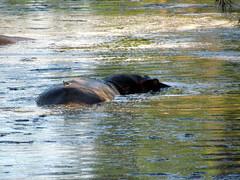 Hippopotamus - Hippo - Serengeti National Park safari - Tanzania, Africa