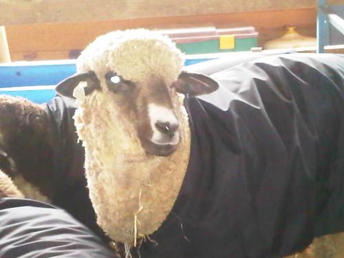 Voodoo Sheep