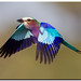 Lilac Roller In-Flight