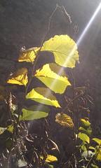 Leaves and sunbeam