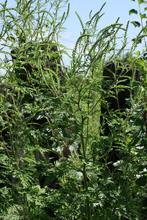 CommonRagweed