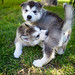 Alaskan Malamute - Little Monsters II