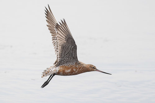 Bar-tailed Godwit in flight