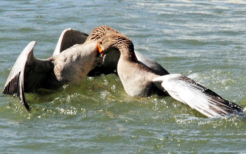 Duck fight!