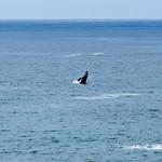Dancing Grey Whale Calf
