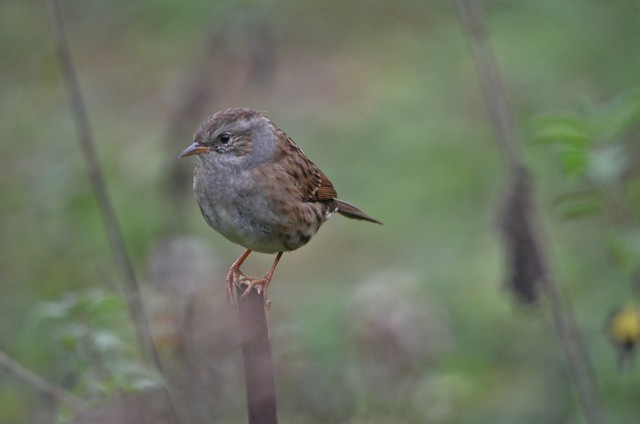 Stumped Dunnock