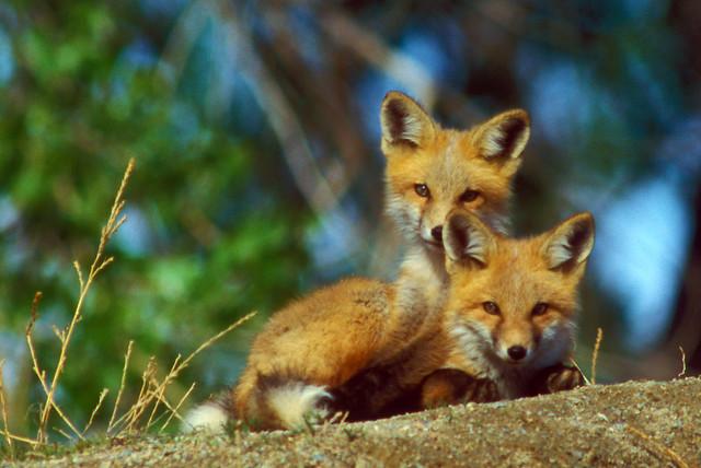5553531777 5c8637d0ea z jpgRed Fox Cubs