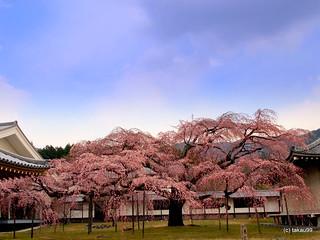 Daigo Cherry Blossoms