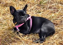 dog breed, animal, dog, pet, mammal, french bulldog, bulldog,