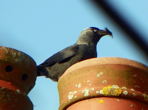 GOC Wild Beds and Edgy Herts 128: Jackdaw (Corvus monedula)