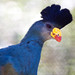 Great Blue Turaco - Photo (c) Nathan Rupert, some rights reserved (CC BY-NC-ND)