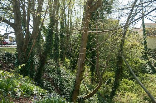English Ivy monoculture