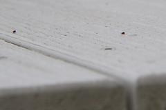 20110412 - Spring Springtails