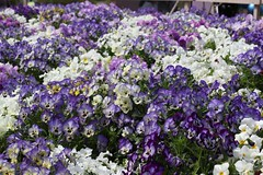 pansy, annual plant, flower, purple, plant, wildflower, flora,