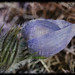 Crocus after the rain