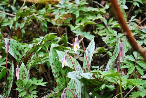 White Trout Lily (Erythronium albidum)