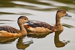 Swimming Ducks