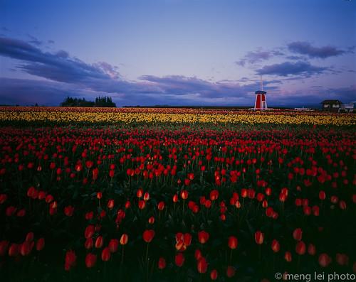 tulips 8x10 chamonix provia